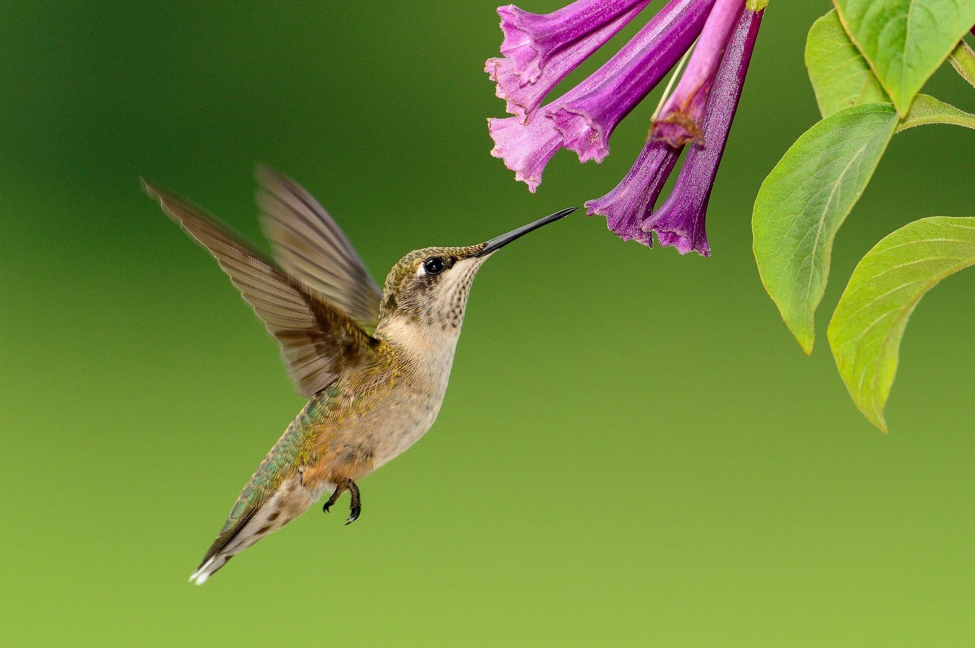 hummingbird-1056383