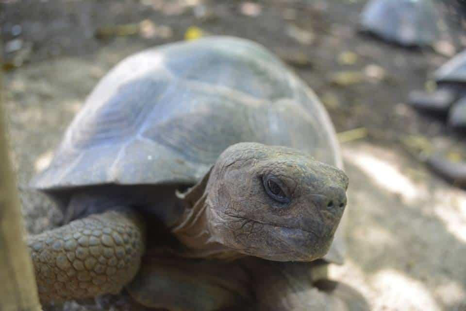 Baby Galapagos Tortoise