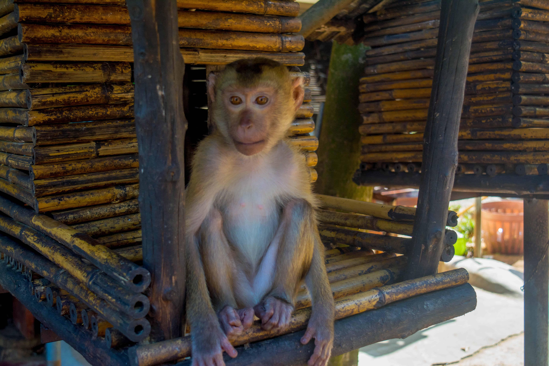 Mono en Phuket Tailandia