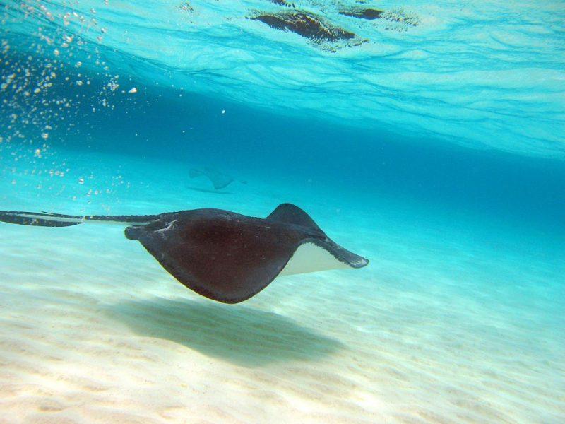 Nadar con manta rayas: Cosas que hacer en gran caimán