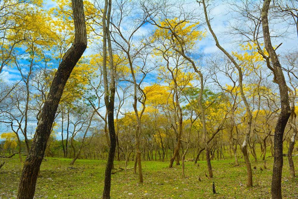 bosque-de-guayacanes