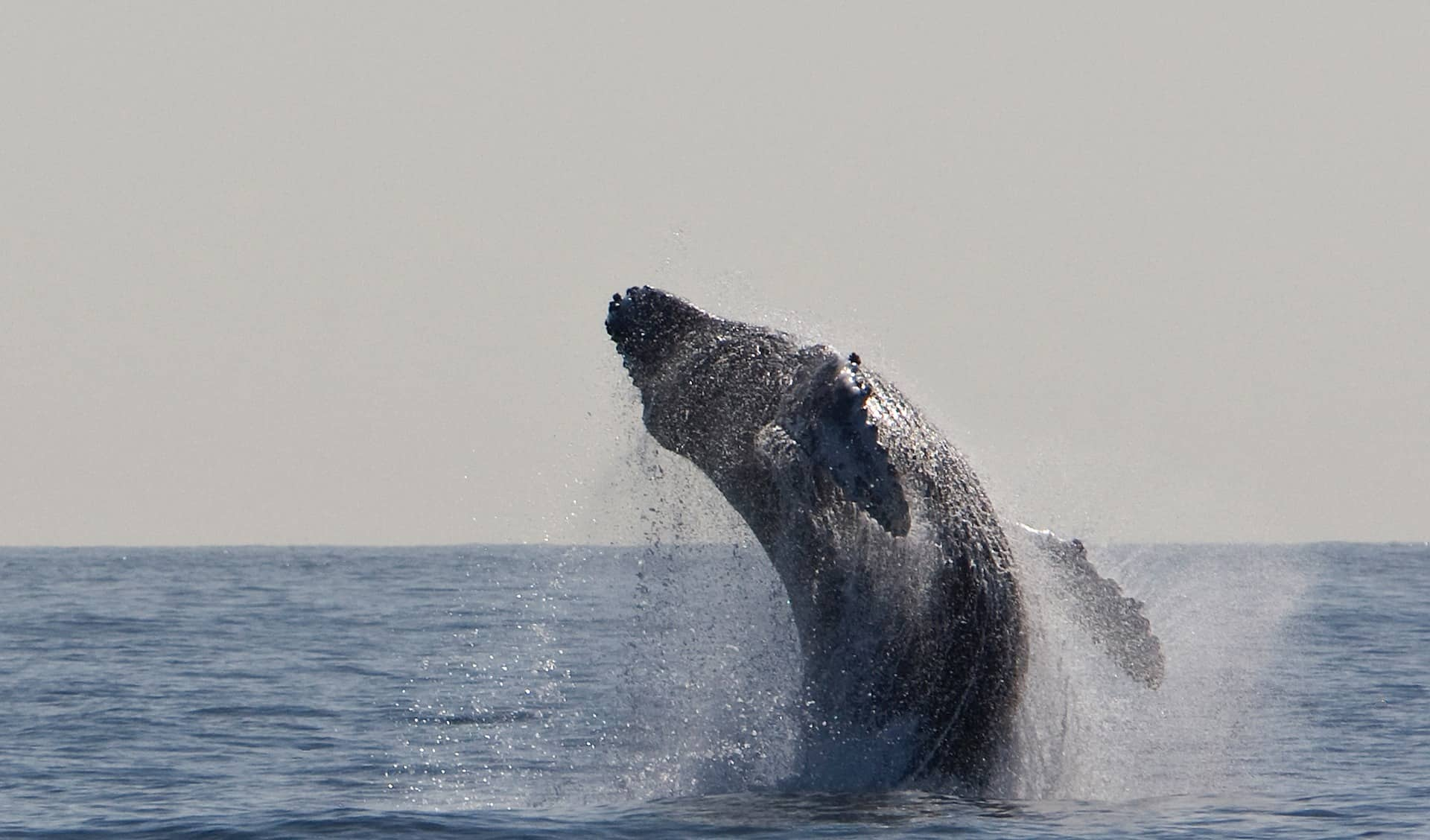 Go Whale Watching in Australia