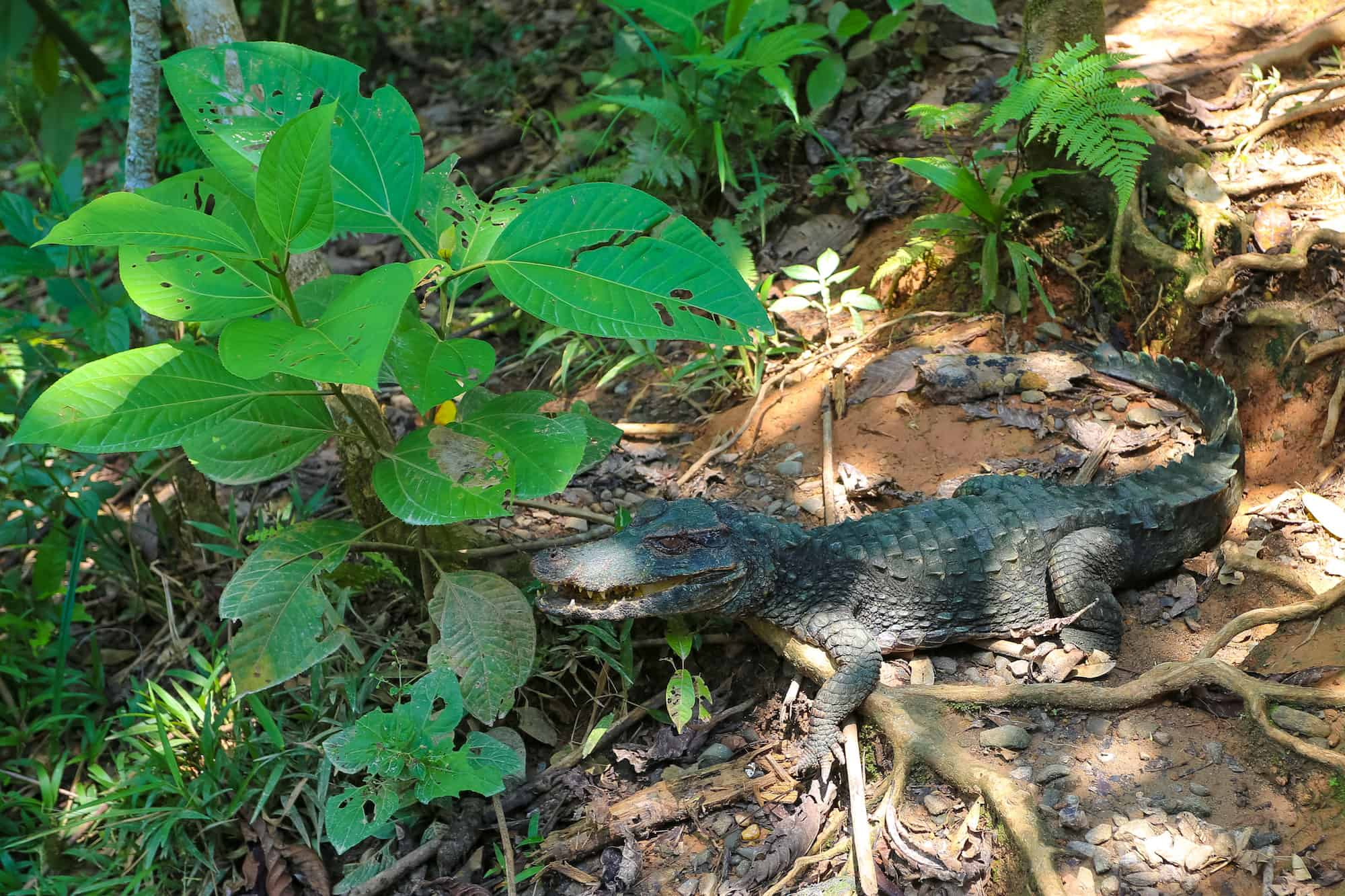 Crocodile - Coca Ecuador - Yasuni National Park