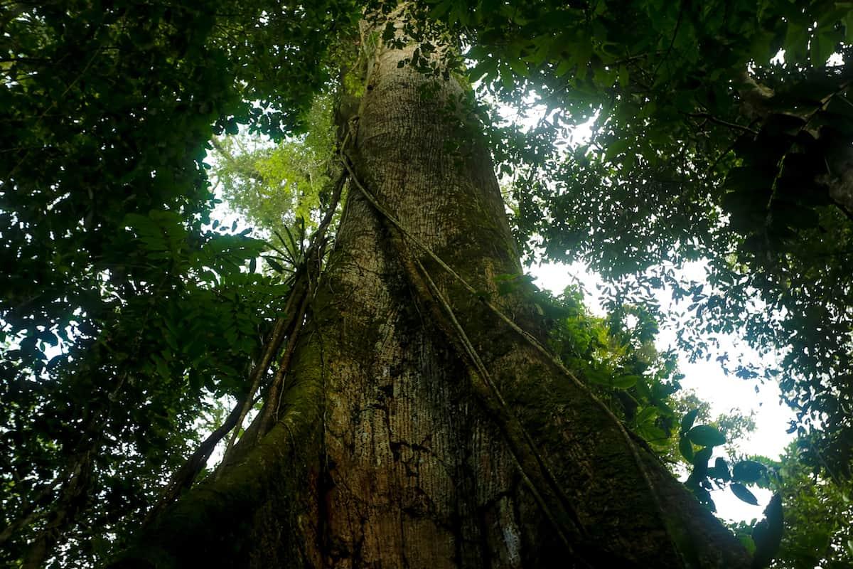 El GranCeibos y el árbol de la Boa Rosada en la comunidad de Indillama