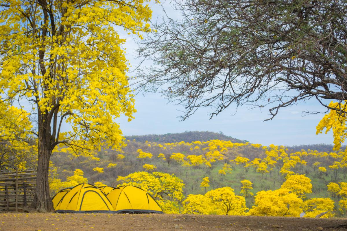 Campo de Guayacanes Amarillos en Loja Ecuador