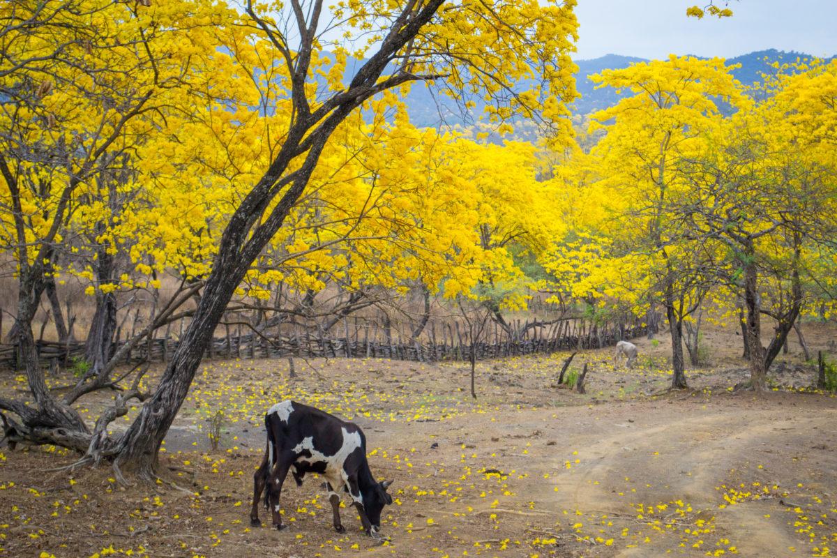 florecimiento de los guayacanes en Mangahurco ecuador