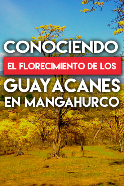Conociendo el Florecimiento de Los Guayacanes en Mangahurco