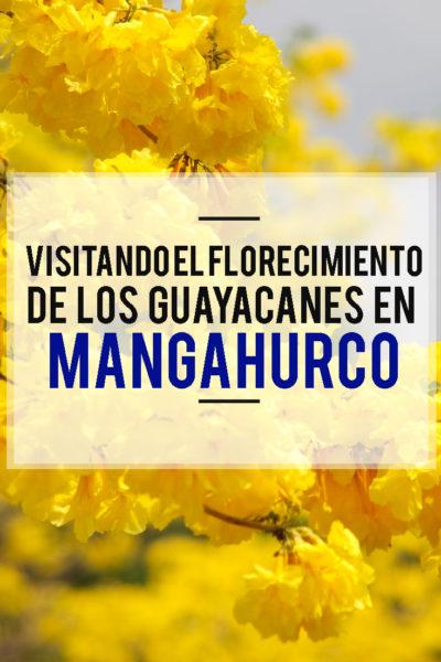 Visitando el Florecimiento de los Guayacanes en Mangahurco