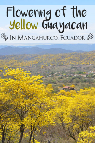 Where to go in Ecuador to see the Guayacan blossom