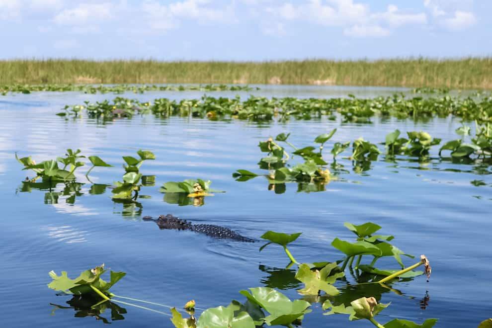 Everglades Holiday Park Aligator