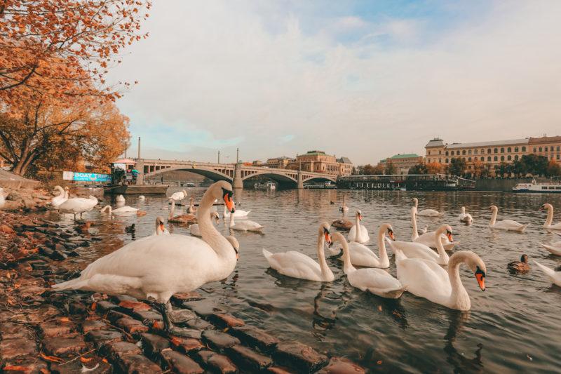 Swan Feeding in Prague