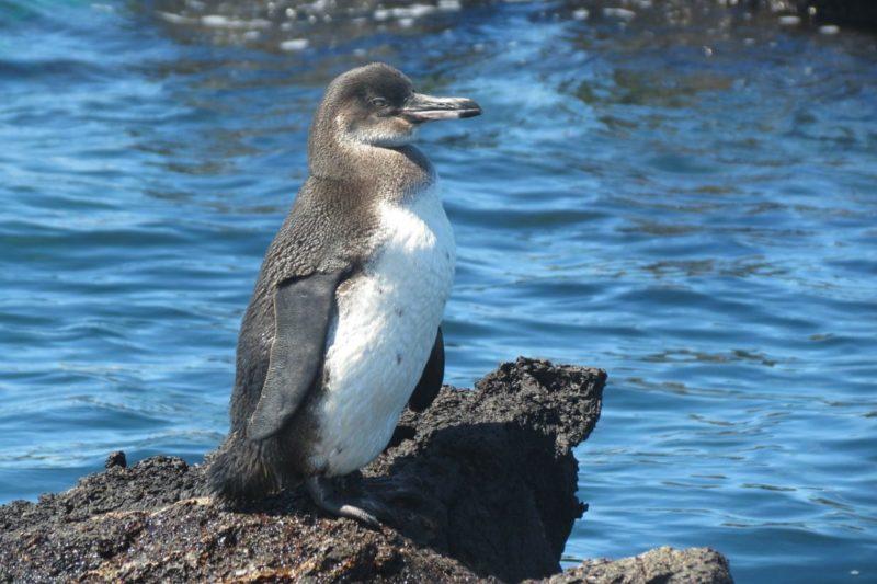penguin-galapagos