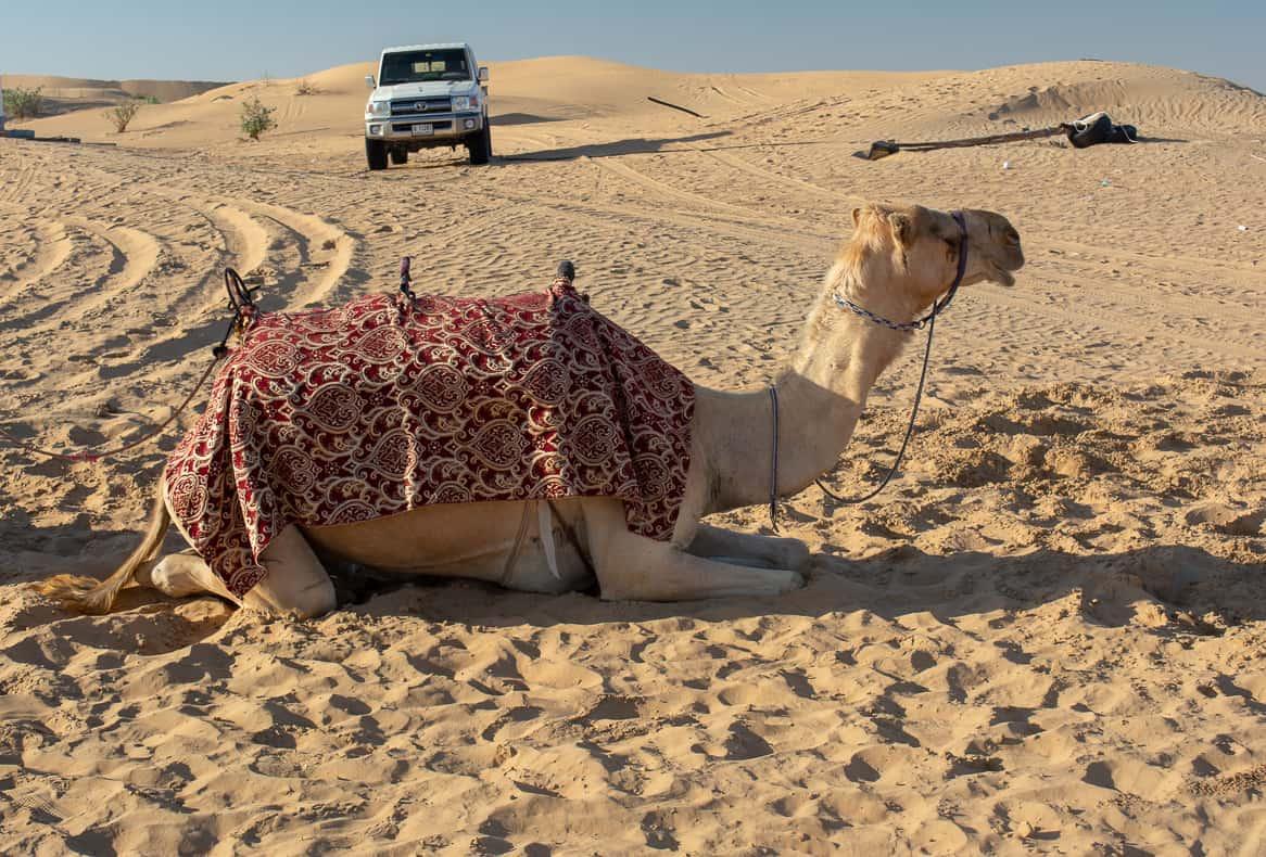 Dubai Desert Camel