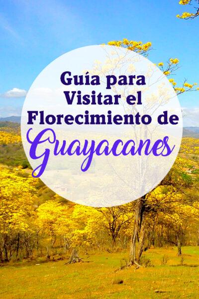 Guía para visitar el Florecimiento de los Guayacanes
